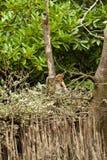 Schüchterner probiscus Affe, der in einem Baum sitzt Lizenzfreies Stockfoto