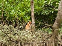 Schüchterner probiscus Affe, der in einem Baum sitzt Lizenzfreie Stockfotos