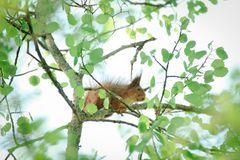 Schüchternes Eichhörnchen auf einem Baumast lizenzfreies stockfoto