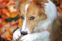 Schüchternes Hundebitten stockfoto