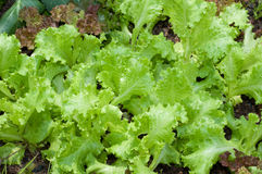 Schüsselpflanzen des grünen Salats stockfotos