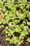 Schüsselpflanzen des grünen Salats Lizenzfreies Stockbild