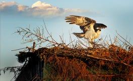 Schützen des Nestes #1 Lizenzfreies Stockfoto