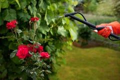 Schützende Rosen von den Schädlingen Lizenzfreies Stockbild