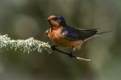 Schützende Scheunen-Schwalbe, die das Nest aufpasst Stockfoto