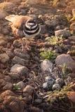 Schützender weiblicher Killdeer, der ihr Nest schützt Stockbild