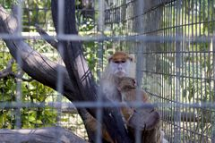 Schützendes Baby des Affen Lizenzfreie Stockbilder