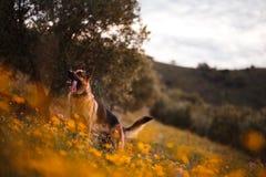 Sch?ferhund, der auf Feld von gelben Blumen und von Olivenb?umen spielt stockfotos