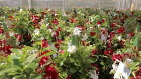 Sch?ne bl?hende Blumen in einem modernen Gew?chshaus, wachsende Blumen auf einer industriellen Ebene, modernes Gew?chshaus stock video