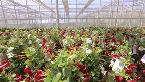 Sch?ne bl?hende Blumen in einem modernen Gew?chshaus, wachsende Blumen auf einer industriellen Ebene, modernes Gew?chshaus stock footage