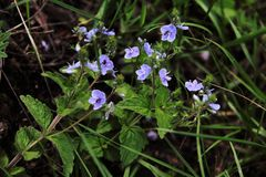 Sch?ne blaue Blumen in der Wiese stockfotos