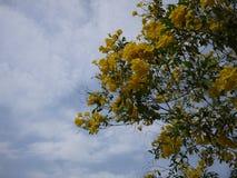 Sch?ne Blumen der gelben Trompete bl?hen in einem frischen gr?nen Garten lizenzfreie stockfotos