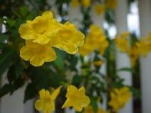 Sch?ne Blumen der gelben Trompete bl?hen in einem frischen gr?nen Garten stockfotos