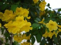 Sch?ne Blumen der gelben Trompete bl?hen in einem frischen gr?nen Garten stockfoto