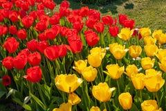 Sch?ne bunte Tulpen in Holland - Nizza Blumen lizenzfreie stockbilder