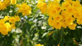 Sch?ne gelbe Blumen in den B?ndeln auf den Niederlassungen eines Busches Nat?rlicher Blumenhintergrund Fr?hlingsstimmung, sonnig  stock footage
