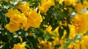 Sch?ne gelbe Blumen in den B?ndeln auf den Niederlassungen eines Busches Nat?rlicher Blumenhintergrund Fr?hlingsstimmung, sonnig  stock video