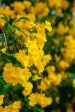 Sch?ne gelbe Blumen der Weichzeichnung lizenzfreie stockbilder
