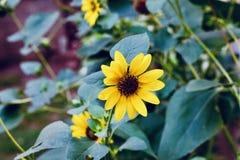 Sch?ne gelbe Sonnenblumen auf den Gebieten lizenzfreie stockbilder