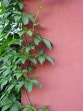 Sch?ne gr?ne Kriechpflanze auf Hauptwand, Litauen stockbilder