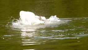 Sch?ne H?ckerschwanschwimmen in einem Teich nach dem Winter stock video footage