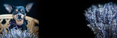 Sch?ne Hintergrundgrenze, -flieger, -postkarte mit Blumenlavendel und -welpe mit einem Blumenstrau? des Lavendels, Panorama, stockbild