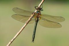 Sch?ne Naturszene mit flaumigem Smaragd-Cordulia Aenea lizenzfreie stockfotos