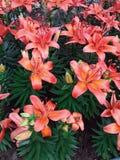 Sch?ne orange Blumen im Garten lizenzfreies stockbild