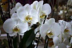 Sch?ne Orchidee im Garten lizenzfreies stockbild
