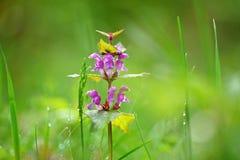 Sch?ne purpurrote Fr?hlingsblumen mit buntem nat?rlichem Hintergrund Fr?hjahr im Gras stockbild