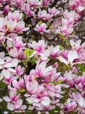 Sch?ne purpurrote Magnolie bl?ht im Fr?hjahr Jahreszeit auf dem Magnolienbaum Rosa Bl?te lizenzfreies stockbild
