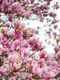 Sch?ne purpurrote Magnolie bl?ht im Fr?hjahr Jahreszeit auf dem Magnolienbaum Rosa Bl?te lizenzfreie stockfotografie