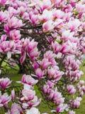Sch?ne purpurrote Magnolie bl?ht im Fr?hjahr Jahreszeit auf dem Magnolienbaum Rosa Bl?te stockfoto