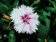 Sch?ne rosa und wei?e Blume lizenzfreie stockfotografie
