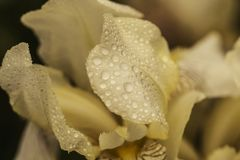 Sch?ne Sommerblume blende Beständige rhizomatous Anlage des Schwertliliengewächse Iridaceae mit Tautropfen Sonniger Tag luxuri?s stockfoto