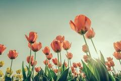 Sch?ner Blumenstrau? der Jahreszeit der Tulpen im Fr?hjahr (Gefilterter Bild verarbeiteter Weinleseeffekt stockfotografie