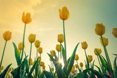 Sch?ner Blumenstrau? der Jahreszeit der Tulpen im Fr?hjahr (Gefilterter Bild verarbeiteter Weinleseeffekt stockfotos