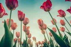 Sch?ner Blumenstrau? der Jahreszeit der Tulpen im Fr?hjahr (Gefilterter Bild verarbeiteter Weinleseeffekt lizenzfreies stockfoto