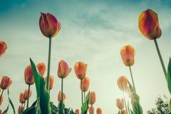 Sch?ner Blumenstrau? der Jahreszeit der Tulpen im Fr?hjahr (Gefilterter Bild verarbeiteter Weinleseeffekt stockbild