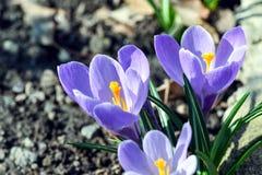 Sch?ner Fr?hlingsblumenkrokus, Mehrzahl- Krokusse oder croci ist Bl?tenpflanzen lizenzfreies stockbild