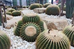 Sch?ner Kaktusbaum in den G?rten im Freien und in den Parks stockfotografie