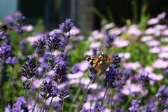 Sch?ner orange Schmetterling auf purpurroten Blumen stockfoto