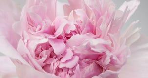 Sch?ner rosa Pfingstrosenhintergrund Blühende Pfingstrosenblume offen, Zeitspanne, Nahaufnahme Hochzeitshintergrund, Valentinstag stock video footage