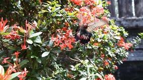 Sch?ner tropischer Schmetterling auf einem hellen bl?henden Busch stock video footage