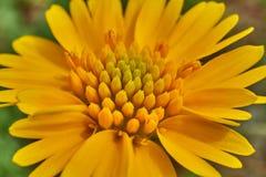 Sch?ner wilder Fr?hling gelbes Sneezweed-Helenium amarum mit gr?nem Hintergrund stockfotografie