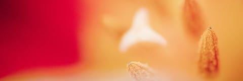 Sch?nes Makro einer roten Tulpe Schönes unscharfes klares Makro des roten Tulpenstempels und der extremen Nahaufnahmenatur der St stockbild