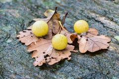 Schaafwonden van quercusfolii van insectcynips op eiken bladeren Royalty-vrije Stock Fotografie