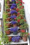 Schaal van geraniums Stock Afbeeldingen