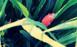 Schaaldiereneieren of Pomacea-canaliculata op groene rijstinstallatie royalty-vrije stock foto's