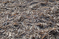 Schaaldierscheermessen op het verlaten strand Stock Afbeelding